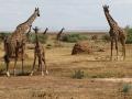 giraffes-344020