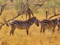 zebra-278371